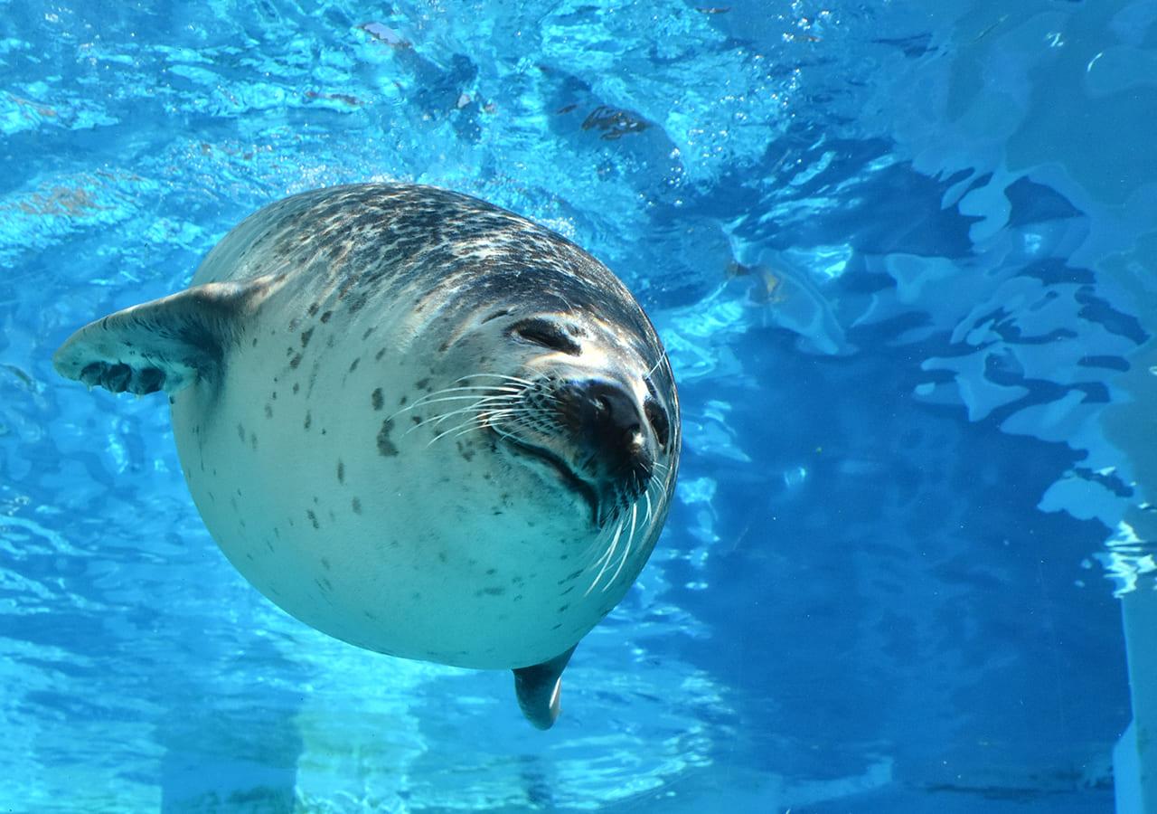 マリンワールド海の中道のゆったりと泳ぐゴマフアザラシ